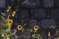 Солнцецветы, который выросли в городском саде с текстурой стены на заднем плане Желтый живой зацветать солнцецветов стоковое изображение rf