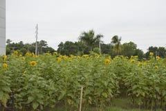 Солнцецветы, который выросли на предпосылках Колизея Davao del Sur, Matti, город Digos, Davao del Sur, Филиппины стоковая фотография rf