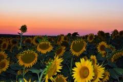 Солнцецветы, красное небо и заход солнца стоковое фото rf