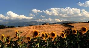 солнцецветы ландшафта Стоковые Изображения
