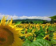 солнцецветы места страны Стоковые Фотографии RF