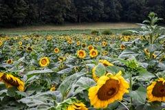 Солнцецветы начиная зацветать, яшма, Georgia, США стоковые изображения rf