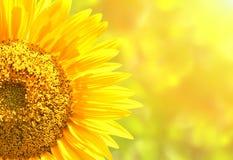 Солнцецветы на запачканной солнечной предпосылке Стоковое фото RF