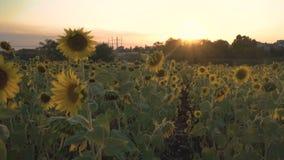 Солнцецветы на заходе солнца видеоматериал