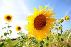 Солнцецветы на заходе солнца Стоковые Изображения RF