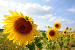Солнцецветы на заходе солнца Стоковая Фотография RF