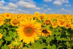 Солнцецветы на луге стоковая фотография