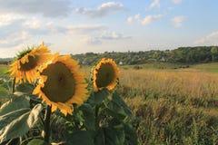 Солнцецветы на наклоне стоковые фото
