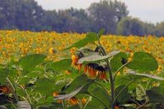 Солнцецветы на поле Стоковое фото RF