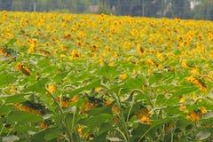 Солнцецветы на поле Стоковая Фотография RF