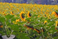 Солнцецветы на поле Стоковые Изображения RF