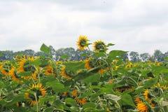 Солнцецветы на поле Стоковое Фото