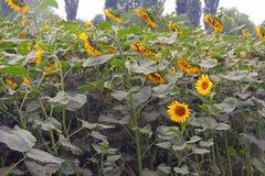 Солнцецветы на поле Стоковое Изображение
