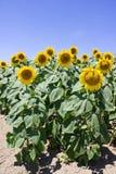 Солнцецветы на поле Стоковое Изображение RF