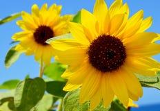 Солнцецветы на предпосылке голубого неба на летний день Желтый цветок стоковое изображение rf