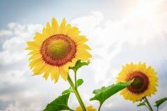 Солнцецветы на предпосылке облачного неба и лучах солнца в поле стоковая фотография rf