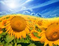 солнцецветы неба поля Стоковая Фотография RF
