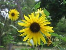солнцецветы одичалые стоковые фотографии rf