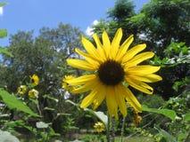 солнцецветы одичалые стоковое фото