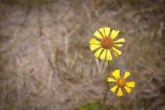 солнцецветы одичалые Стоковая Фотография