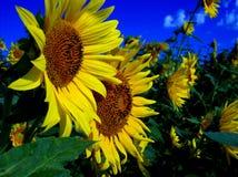солнцецветы пар Стоковая Фотография