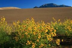 солнцецветы песка дюн большие Стоковые Изображения