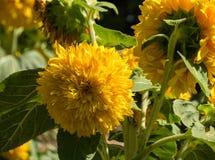 Солнцецветы плюшевого медвежонка стоковая фотография rf