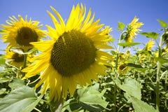 солнцецветы поля растущие стоковые фотографии rf