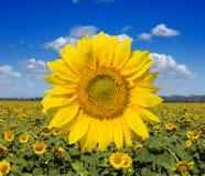солнцецветы поля широкие Стоковое Фото
