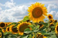 солнцецветы поля Стоковое Фото
