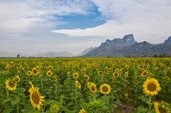 солнцецветы поля Стоковые Фотографии RF