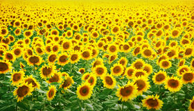 солнцецветы поля Стоковая Фотография