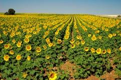 солнцецветы поля Стоковое Изображение RF