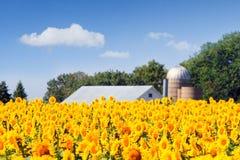 солнцецветы поля стоковая фотография rf