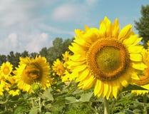 солнцецветы правильной позиции фокуса стоковые фотографии rf