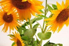 солнцецветы предпосылки белые стоковая фотография