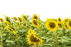солнцецветы предпосылки белые стоковые фото