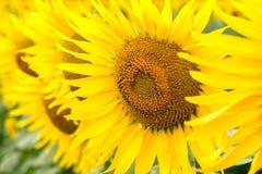 Солнцецветы предпосылки желтые на конце поля вверх стоковое изображение