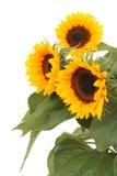 солнцецветы пука Стоковое Изображение RF