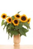 солнцецветы пука Стоковая Фотография