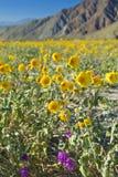 солнцецветы пустыни стоковые фотографии rf