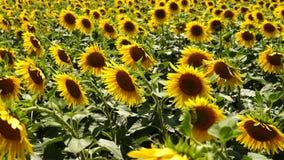 Солнцецветы растут в поле на ферме, природе акции видеоматериалы