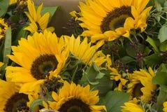солнцецветы сбывания Стоковые Изображения RF