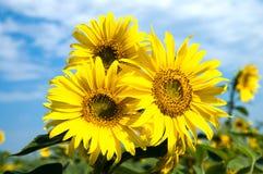 солнцецветы семьи стоковое фото