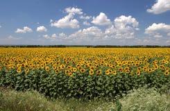 солнцецветы серии Стоковые Фото