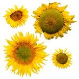 солнцецветы собрания стоковые фото