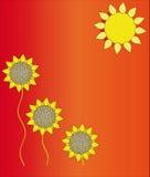 солнцецветы солнца Стоковая Фотография RF