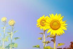 Солнцецветы с влиянием фильтра стоковые фотографии rf