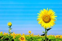 Солнцецветы с влиянием фильтра стоковое фото