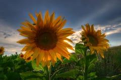 Солнцецветы с заходом солнца Стоковое Фото